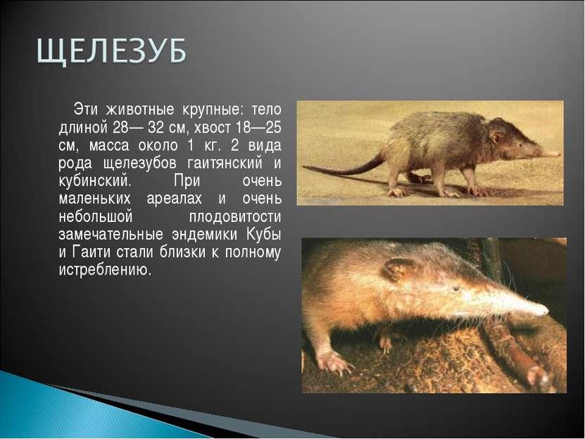 Эти животные крупные: тело длиной 28— 32 см, хвост 18—25 см, масса около 1 кг...