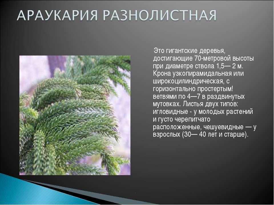 Это гигантские деревья, достигающие 70-метровой высоты при диаметре ствола 1,...