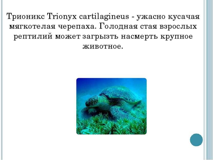 Трионикс Trionyx cartilagineus - ужасно кусачая мягкотелая черепаха. Голодная...