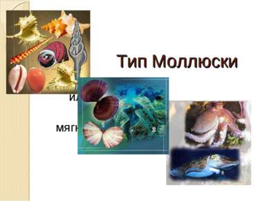 Тип Моллюски или мягкотелые