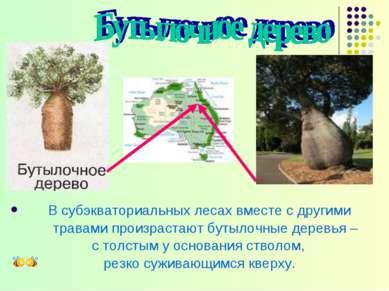 В субэкваториальных лесах вместе с другими травами произрастают бутылочные де...