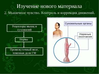 Изучение нового материала 2. Мышечное чувство. Контроль и коррекция движений.