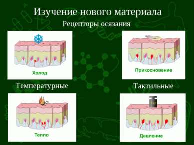 Изучение нового материала Рецепторы осязания Температурные Тактильные