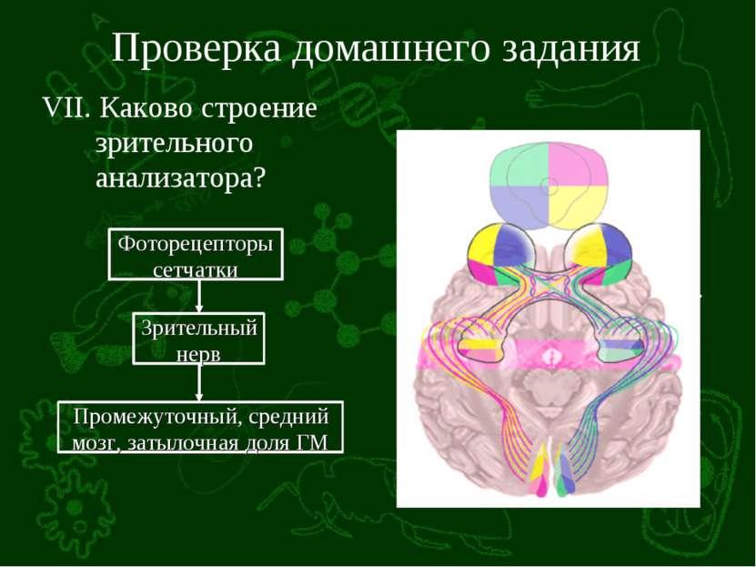 Проверка домашнего задания VII. Каково строение зрительного анализатора?