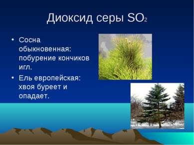 Диоксид серы SO2 Сосна обыкновенная: побурение кончиков игл. Ель европейская:...