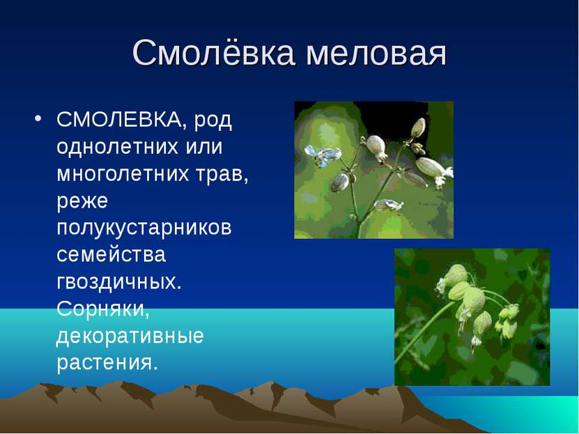 Смолёвка меловая СМОЛЕВКА, род однолетних или многолетних трав, реже полукуст...