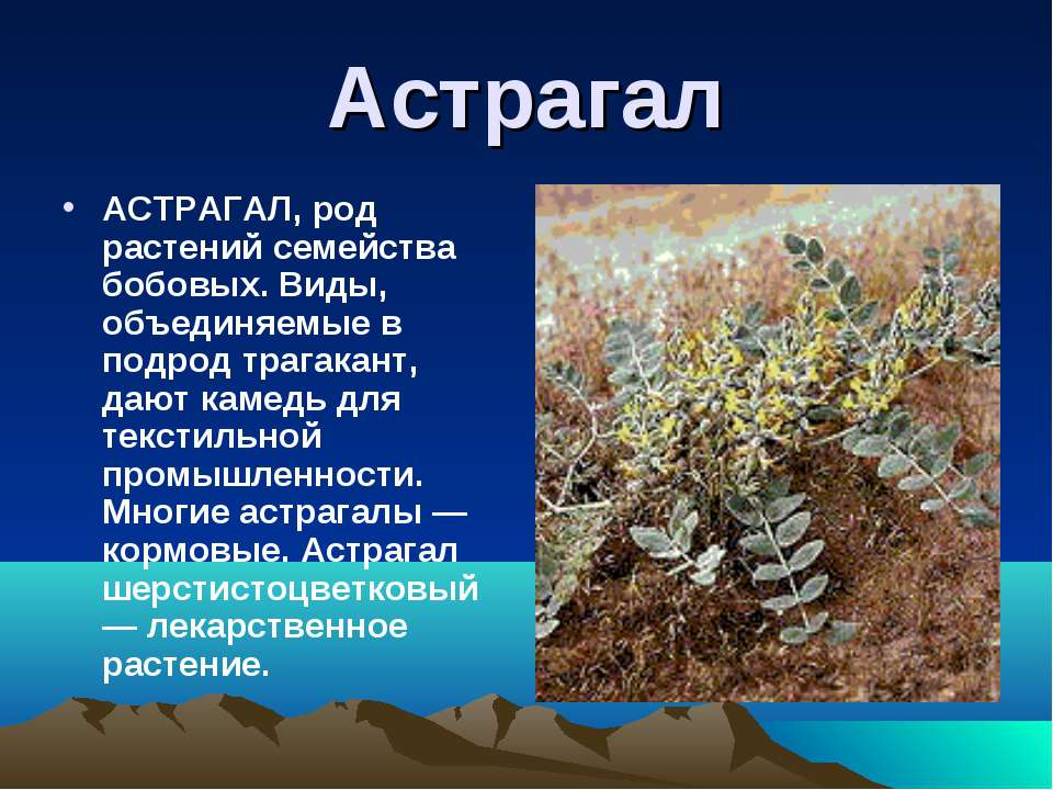 Астрагал АСТРАГАЛ, род растений семейства бобовых. Виды, объединяемые в подро...