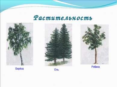 Растительность Берёза Ель Рябина