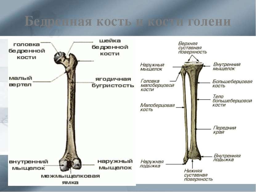 Бедренная кость и кости голени