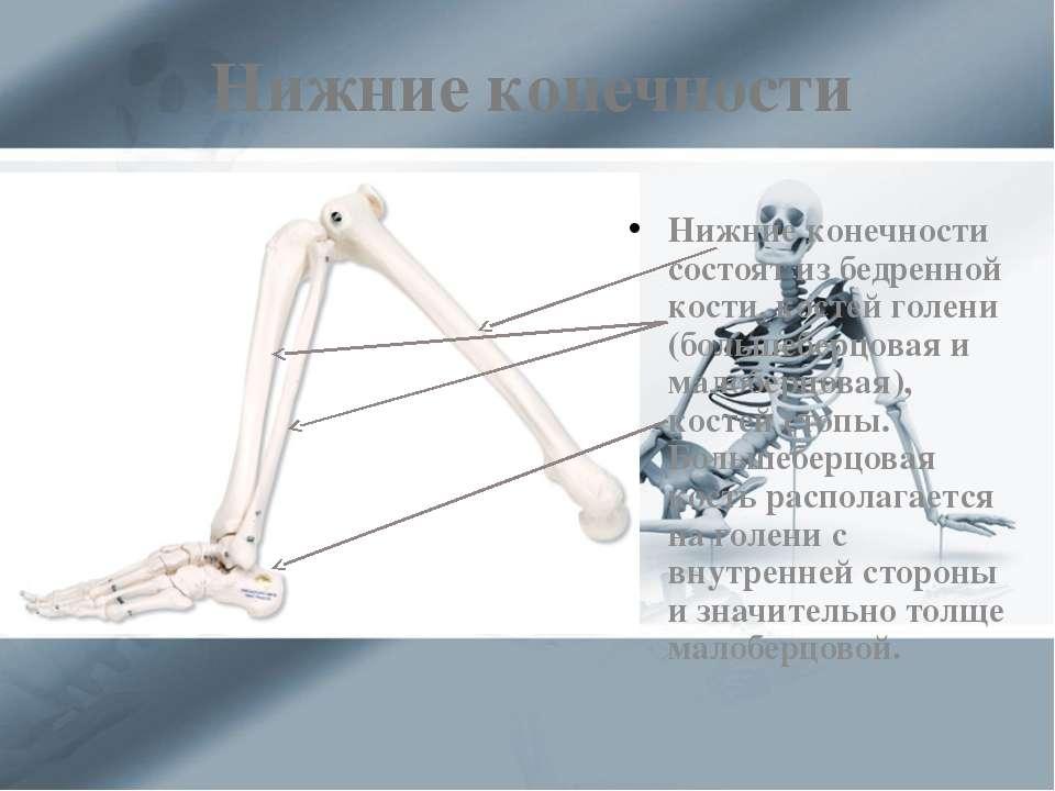 Нижние конечности Нижние конечности состоят из бедренной кости, костей голени...