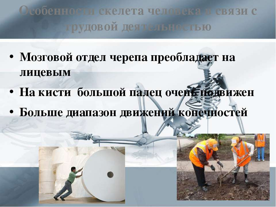 Особенности скелета человека в связи с трудовой деятельностью Мозговой отдел ...