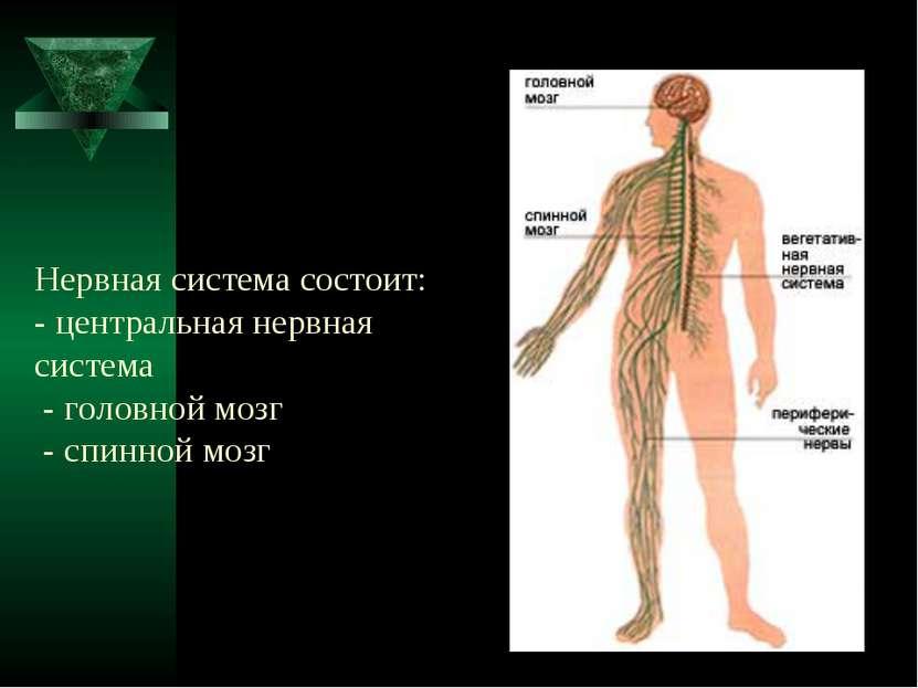 Нервная система состоит: - центральная нервная система - головной мозг - спи...