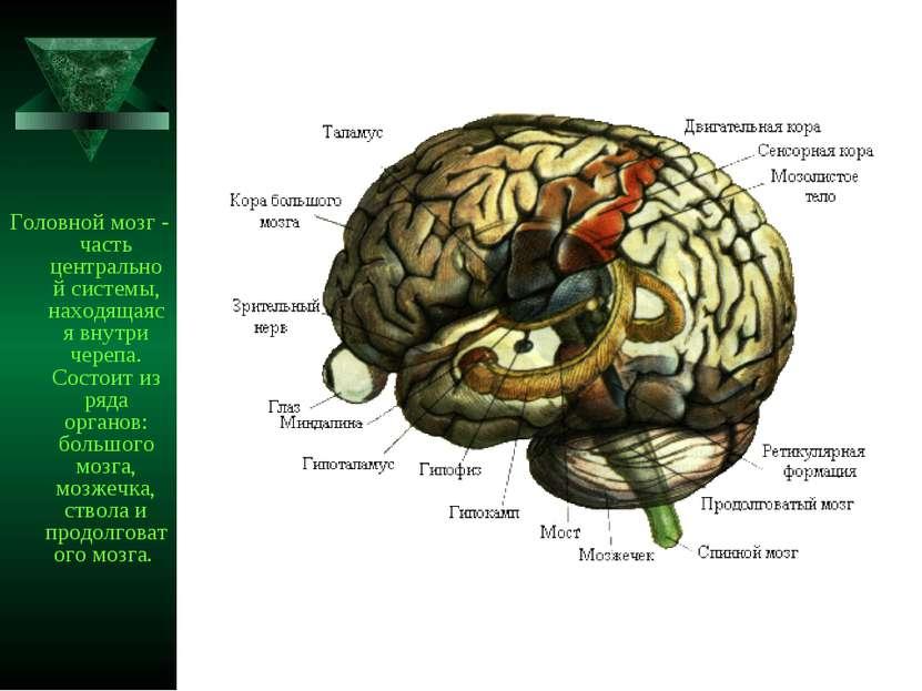 Головной мозг - часть центральной системы, находящаяся внутри черепа. Состоит...