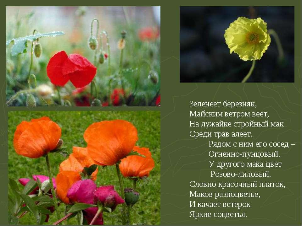 Зеленеет березняк, Майским ветром веет, На лужайке стройный мак Среди трав ал...