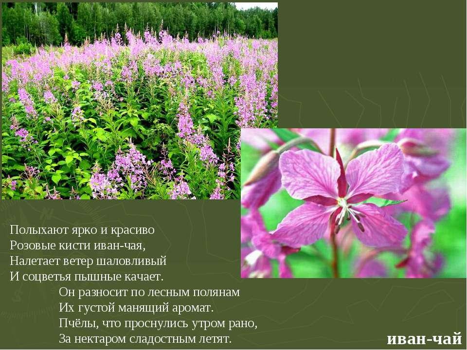 иван-чай Полыхают ярко и красиво Розовые кисти иван-чая, Налетает ветер шалов...