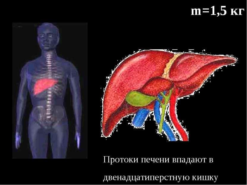 m=1,5 кг Протоки печени впадают в двенадцатиперстную кишку