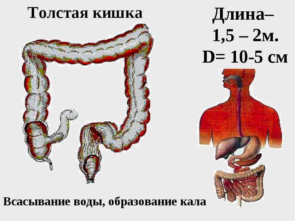 Толстая кишка Длина– 1,5 – 2м. D= 10-5 см Всасывание воды, образование кала