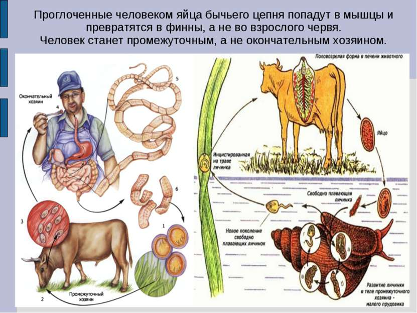 Проглоченные человеком яйца бычьего цепня попадут в мышцы и превратятся в фин...