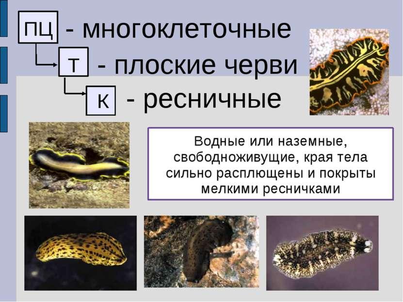 ПЦ - многоклеточные Т - плоские черви К - ресничные Водные или наземные, своб...