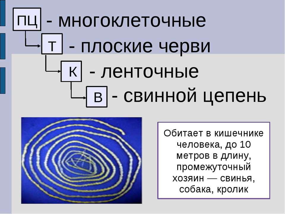 ПЦ - многоклеточные Т - плоские черви К - ленточные В - свинной цепень Обитае...