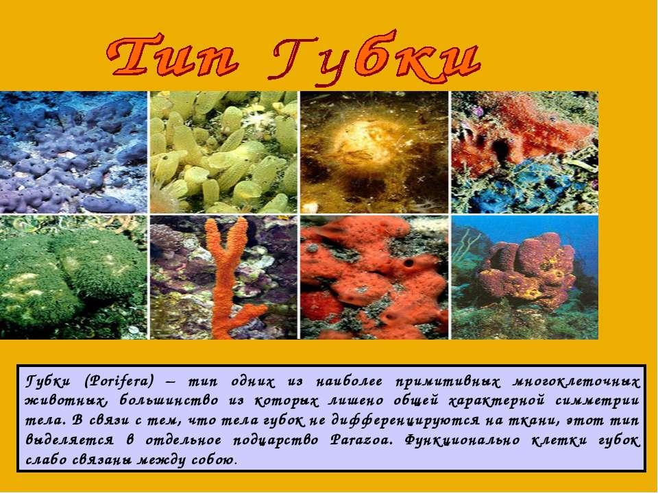Губки (Porifera) – тип одних из наиболее примитивных многоклеточных животных,...