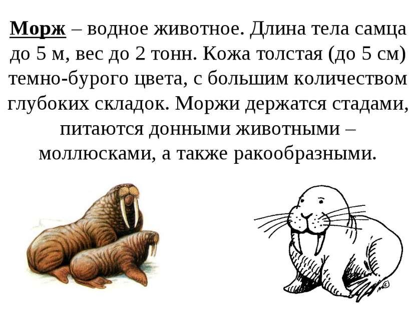 Морж – водное животное. Длина тела самца до 5 м, вес до 2 тонн. Кожа толстая ...
