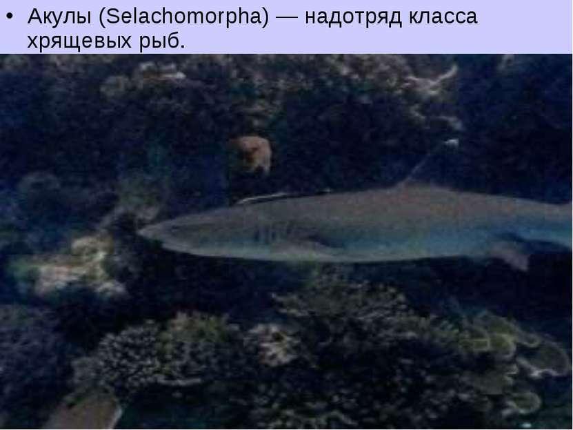 Акулы (Selachomorpha) — надотряд класса хрящевых рыб.