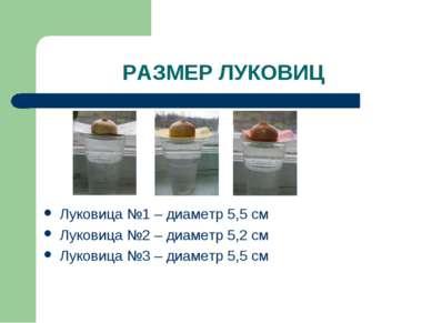 РАЗМЕР ЛУКОВИЦ Луковица №1 – диаметр 5,5 см Луковица №2 – диаметр 5,2 см Луко...