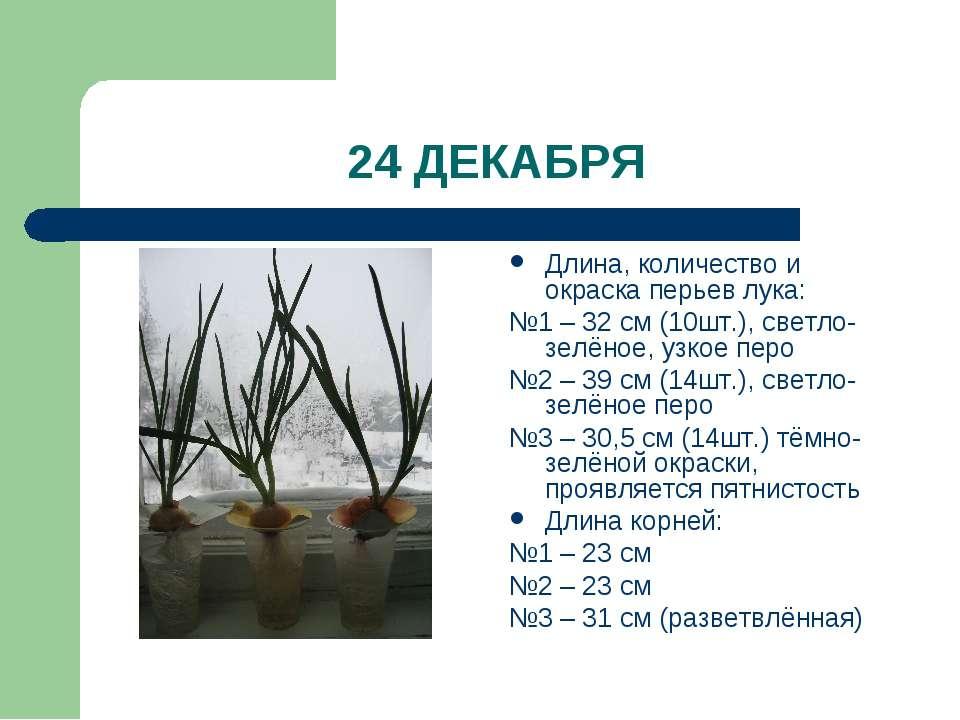 24 ДЕКАБРЯ Длина, количество и окраска перьев лука: №1 – 32 см (10шт.), светл...