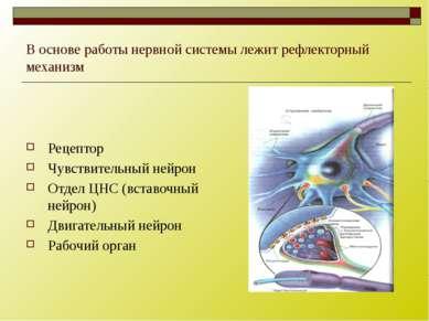 В основе работы нервной системы лежит рефлекторный механизм Рецептор Чувствит...