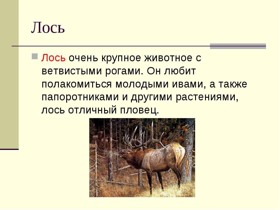 Лось Лось очень крупное животное с ветвистыми рогами. Он любит полакомиться м...