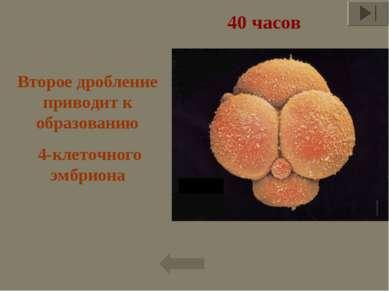 40 часов Второе дробление приводит к образованию 4-клеточного эмбриона *
