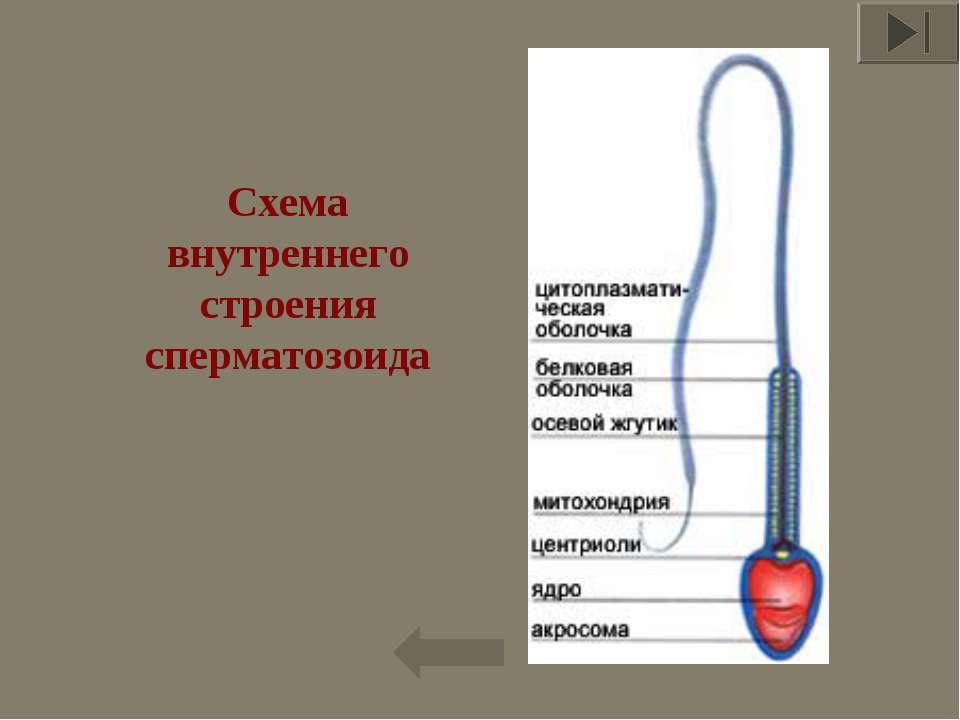 Схема внутреннего строения сперматозоида