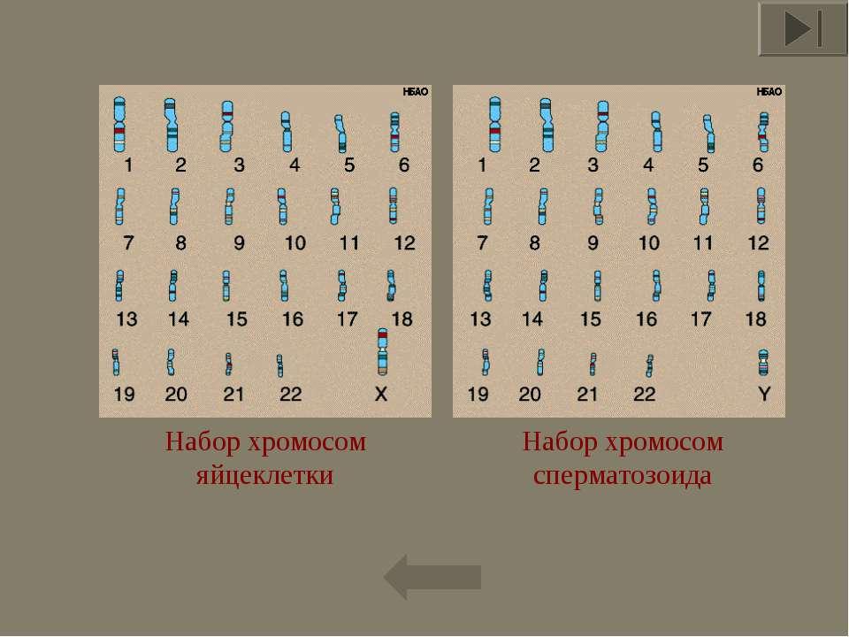 * Набор хромосом сперматозоида Набор хромосом яйцеклетки