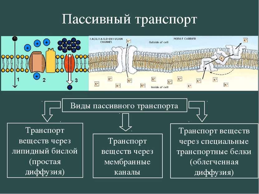 Пассивный транспорт Виды пассивного транспорта Транспорт веществ через липидн...