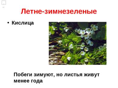 Летне-зимнезеленые Кислица Побеги зимуют, но листья живут менее года