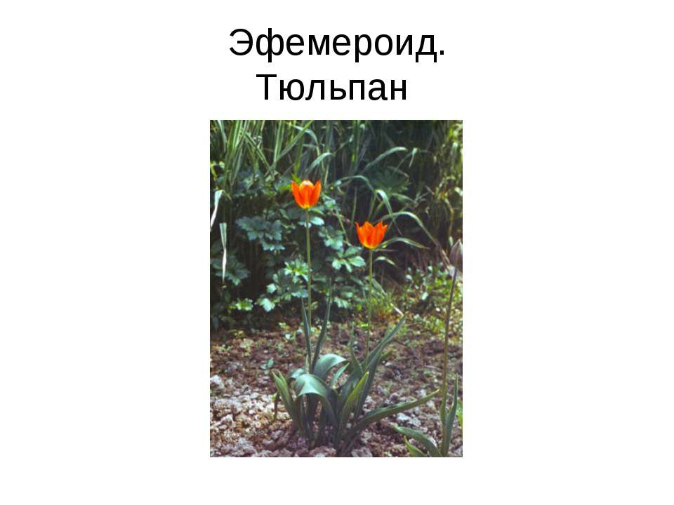 Эфемероид. Тюльпан