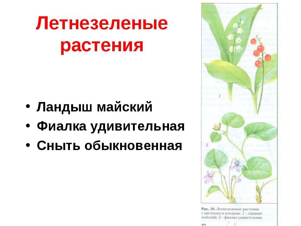 Летнезеленые растения Ландыш майский Фиалка удивительная Сныть обыкновенная