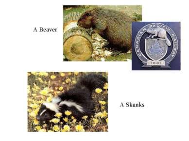 A Beaver A Skunks