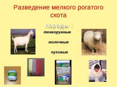 Разведение мелкого рогатого скота тонкорунные молочные пуховые