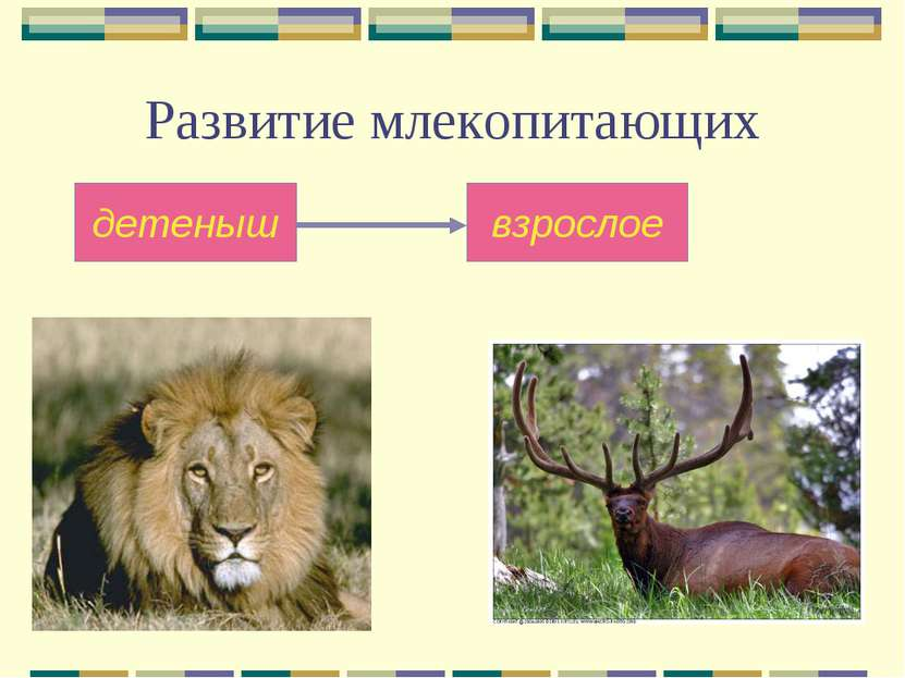 Развитие млекопитающих детеныш взрослое
