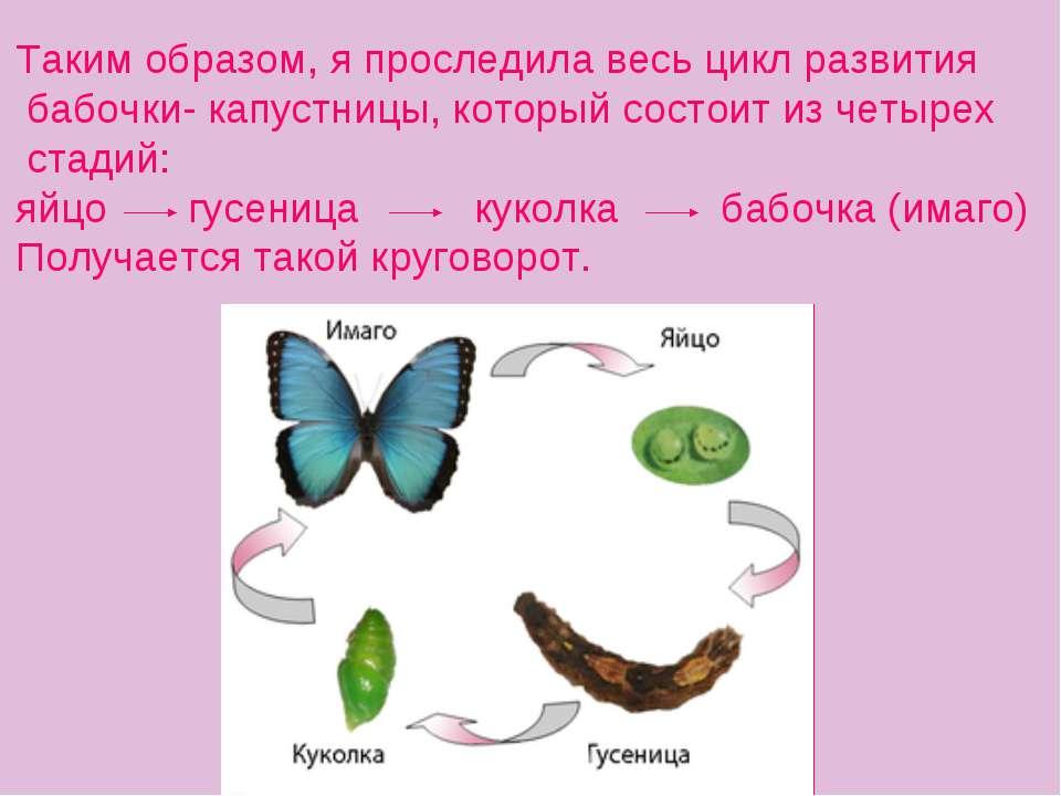 Таким образом, я проследила весь цикл развития бабочки- капустницы, который с...