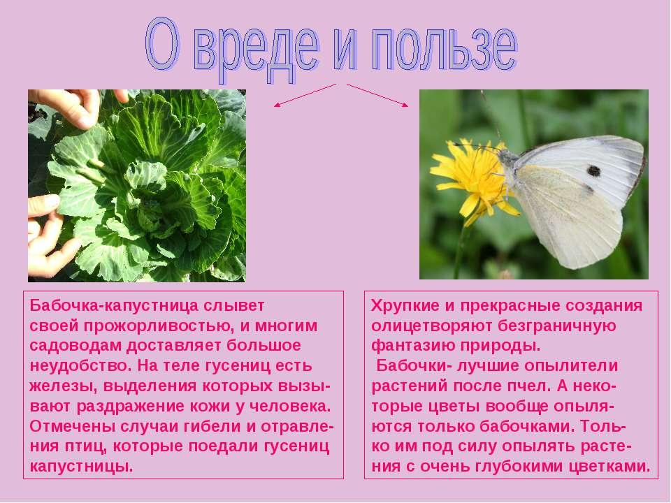 Бабочка-капустница слывет своей прожорливостью, и многим садоводам доставляет...