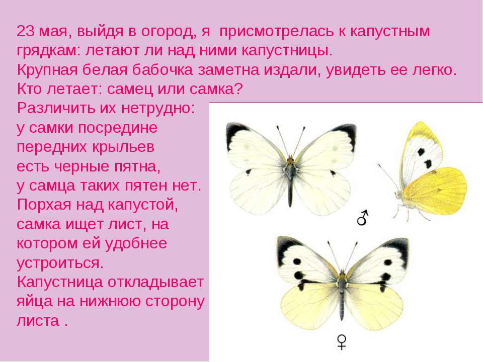 23 мая, выйдя в огород, я присмотрелась к капустным грядкам: летают ли над ни...