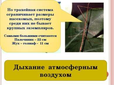 Трахеи – органы дыхания насекомых Дыхание атмосферным воздухом Но трахейная с...
