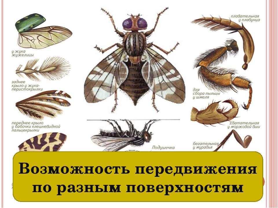 Разные органы передвижения: ходильные конечности и крылья Возможность передви...
