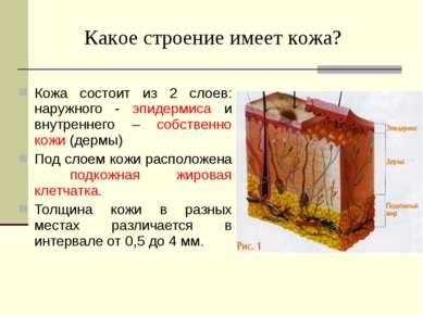 Кожа состоит из 2 слоев: наружного - эпидермиса и внутреннего – собственно ко...