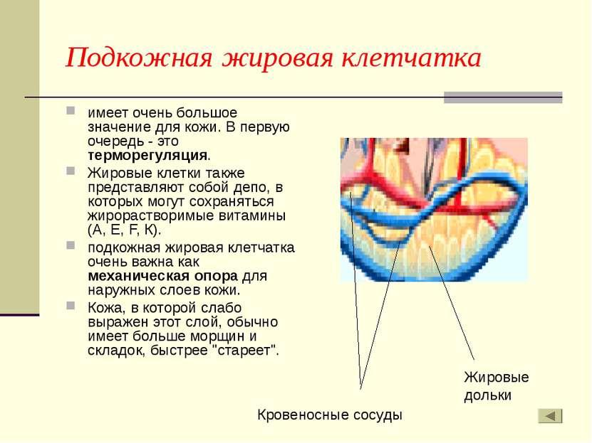 Подкожная жировая клетчатка имеет очень большое значение для кожи. В первую о...