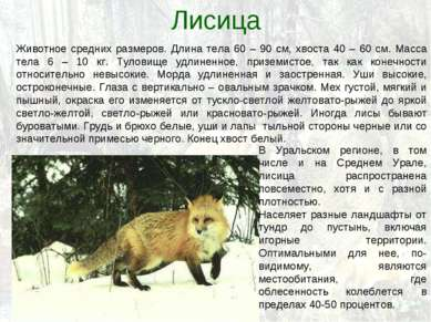 Лисица Животное средних размеров. Длина тела 60 – 90 см, хвоста 40 – 60 см. М...