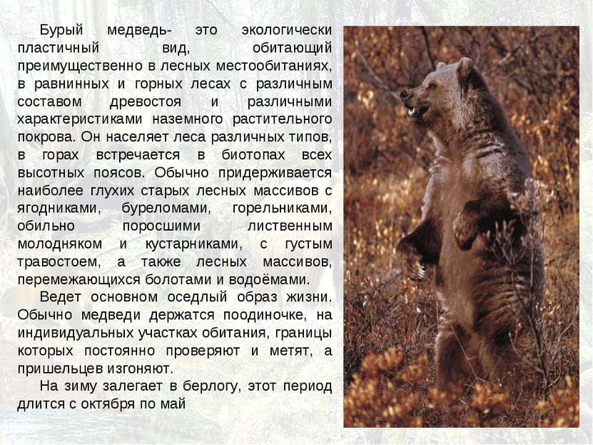 Бурый медведь- это экологически пластичный вид, обитающий преимущественно в л...